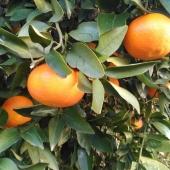 Ya desde mañana disponibles las mandarinas en nuestra web. Empezamos con la variedad Clemenvilla. Ahora sí que sí Love la Huerta está al 💯%. Naranjas, mandarinas, limones, aguacates y nuestras verduras. Alimentos frescos que os hacemos llegar a vuestras mesas con todo nuestro cariño #lovelahuerta #lovemandarinas #lovenaranjas #loveaguacates #lovelimones #loveverduras #lovelavalldigna #healthyfood #productosdenuestratierra